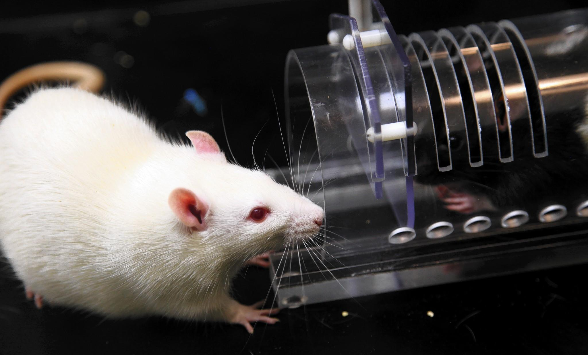 U. of C. neurobiologist Peggy Mason's research began by placing young albino rats with litters of the black-hooded strain.