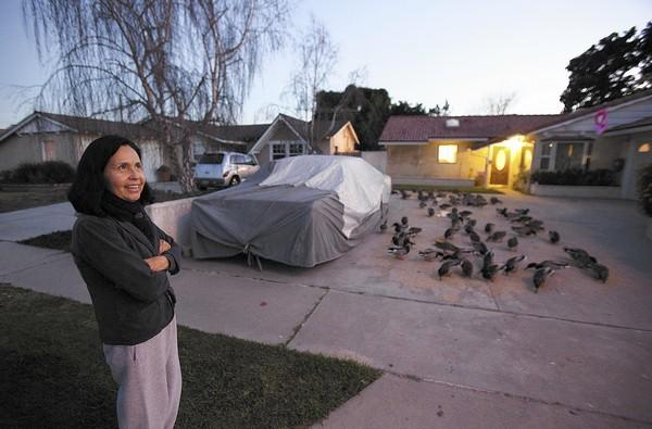 Maria Cuellar looks after ducks that have come to eat food in the driveway of her home. Cuellar has been feeding ducks daily at her home for the past 10 years and has recently been issued a warning citation by the city to stop feeding them.