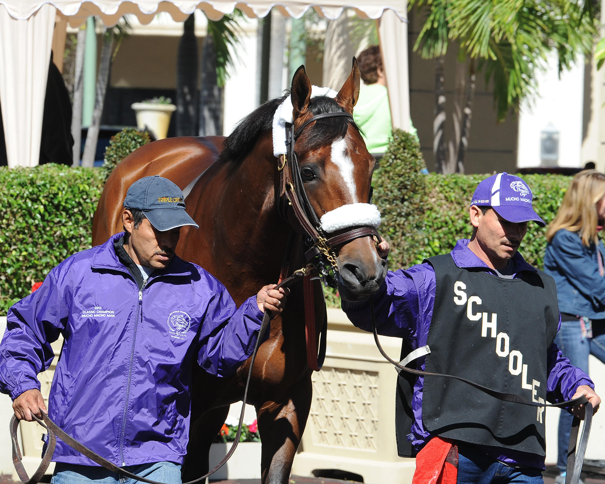 Mucho Macho Man schools Thursday at Gulfstream Park in preparation for racing Saturday in the Sunshine Millions Classic. The horse, trained by Kathy Ritvo, is nominated for two Eclipse Awards which will be presented at night. Handout photo provided by: Coglianese Photo