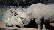 1,000+ rhinos poached in South Africa in 2013, worst year on record
