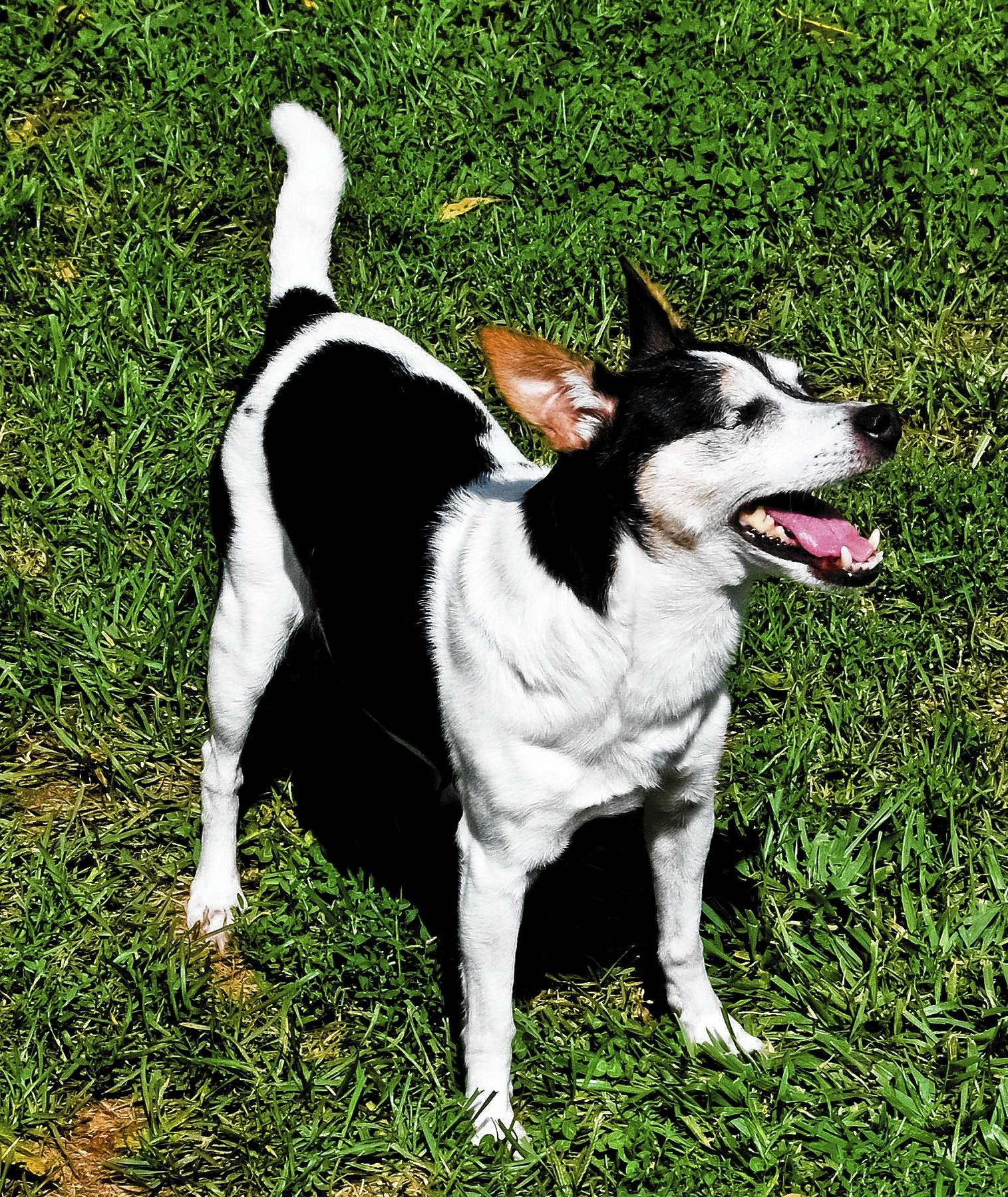 Bree, a 12 year old rat terrier, owned and loved by Brian Hite, 43, of South Whitehall Township.
