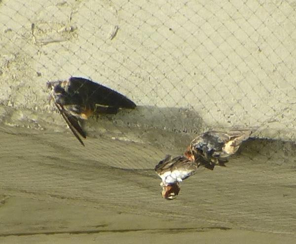Cliff swallows entangled in nets at highway overpass
