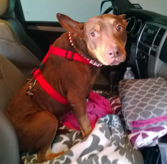 A Doberman named Madison, rescued in Houston by a volunteer and bound for a home in Wisconsin, disappeared early this afternoon, the volunteer, Larissa Gavin, said in an email. Gavin had arranged for the dog to fly with Gavin's boss on a private jet to Midway Airport. The dog got loose from its harness after it was picked up at the airport and is missing on the Southwest Side.