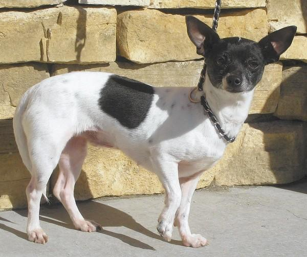 Ruby is a Chihuahua mix, with signs of fox terrier in her markings.