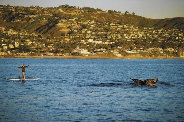 Sarah Lynch paddleboards next to a whale on a recent beautiful Laguna Beach evening.