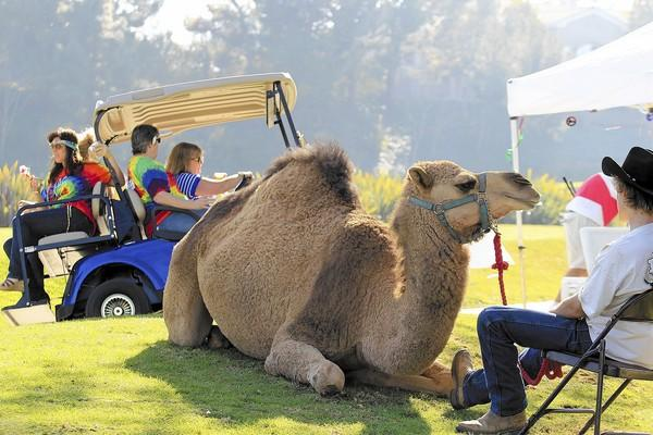 Nadia, a 5-year-old camel, relaxes at Hole 14 during the ninth annual Mesa Verde Classic in Costa Mesa on Monday.