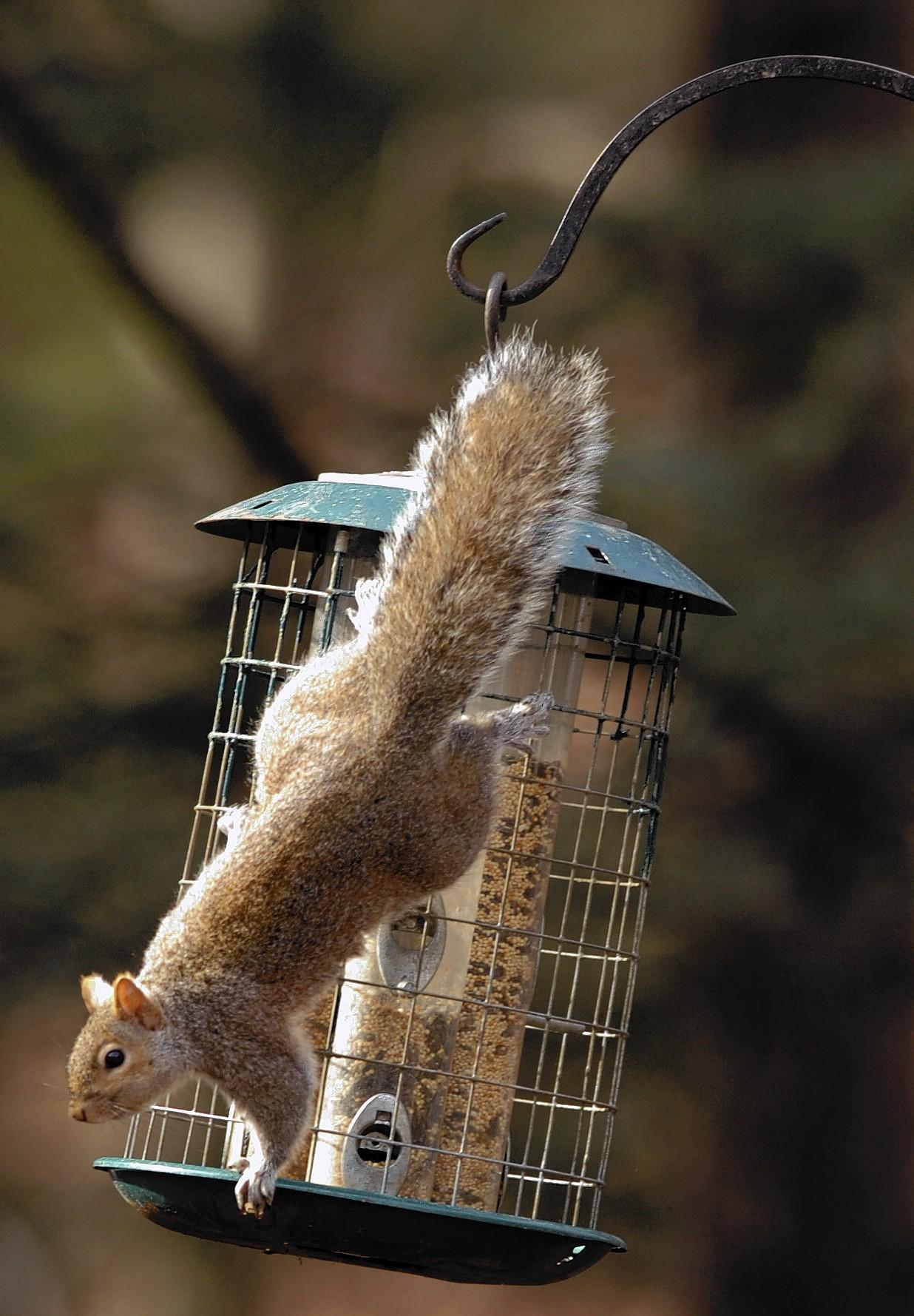 Squirrels can be clever when it comes to finding ways to reach squirrel-proof bird feeders.