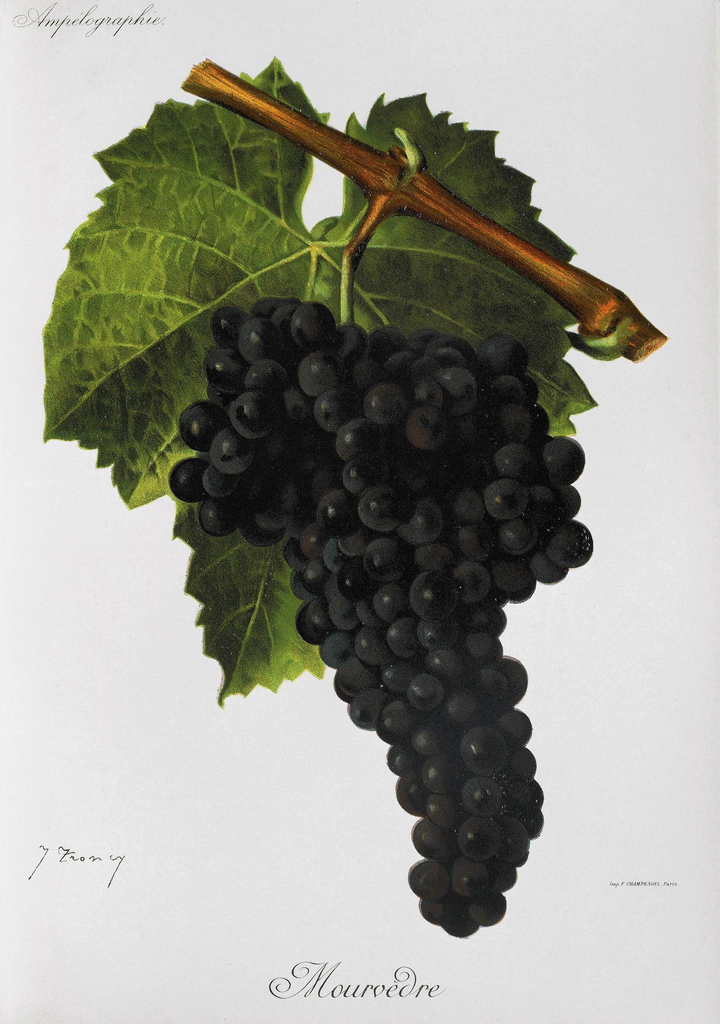 Illustration of Mourvedre grapes.