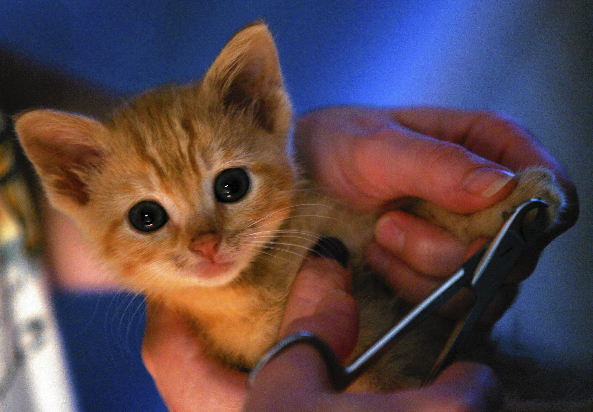 It's easy to get a kitten or young cat used to having the tips of her claws trimmed.