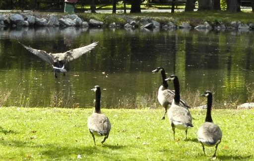 Officials in Salisbury Township say a program to reduce the population of geese at Laubach Park has been effective.