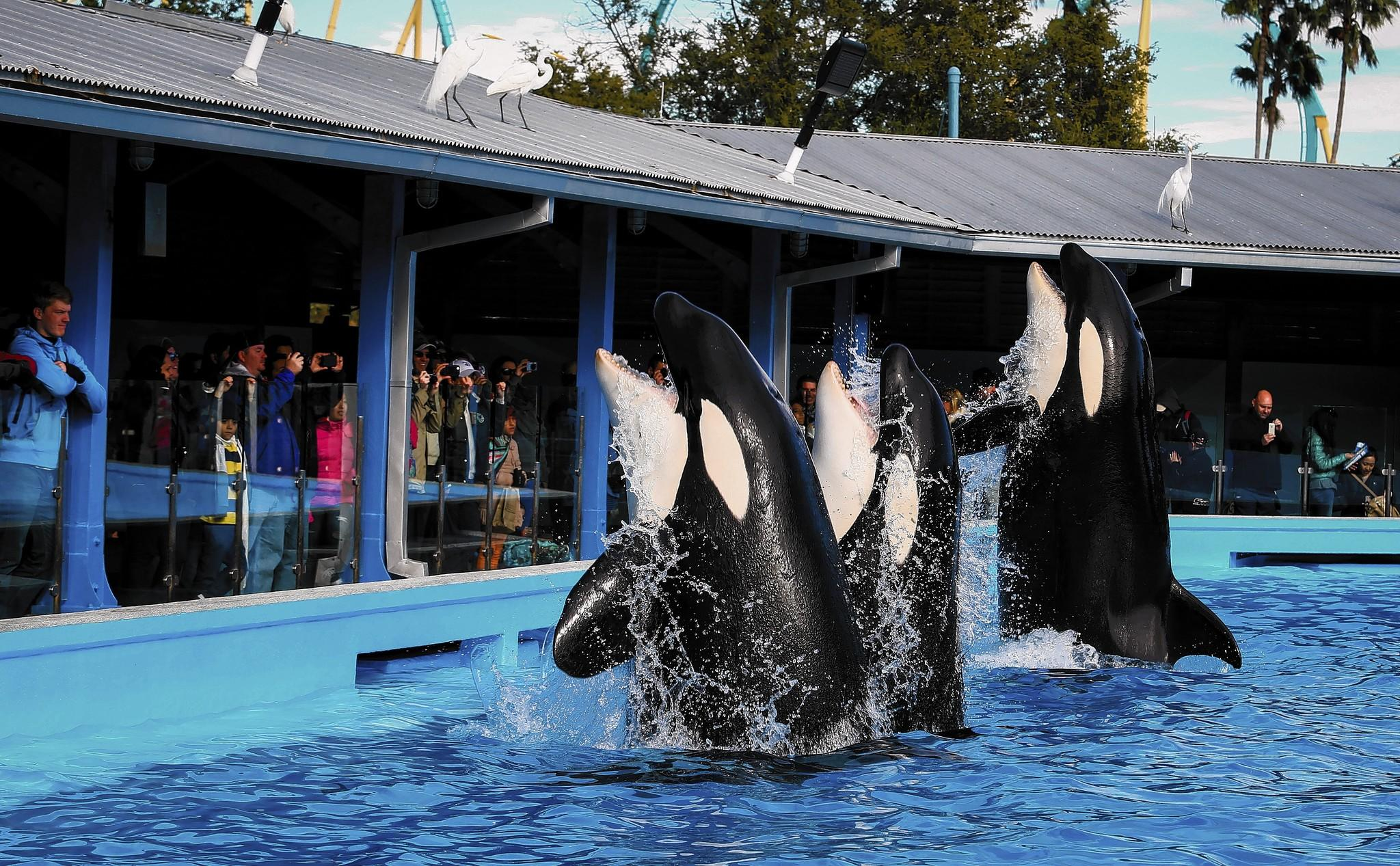 Trainers work with Orcas during a show at the Shamu up close attraction at Sea World in Orlando, FLA. on Tuesday, January 07, 2014.