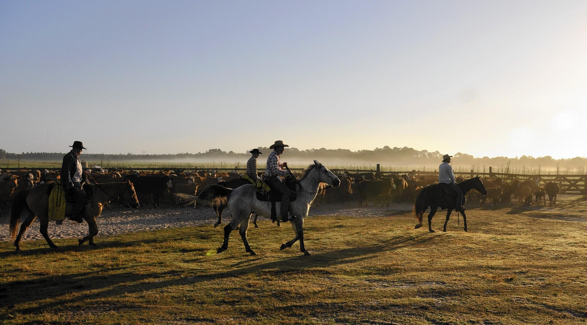 Deseret Ranch cowboys bring in the spring herd.
