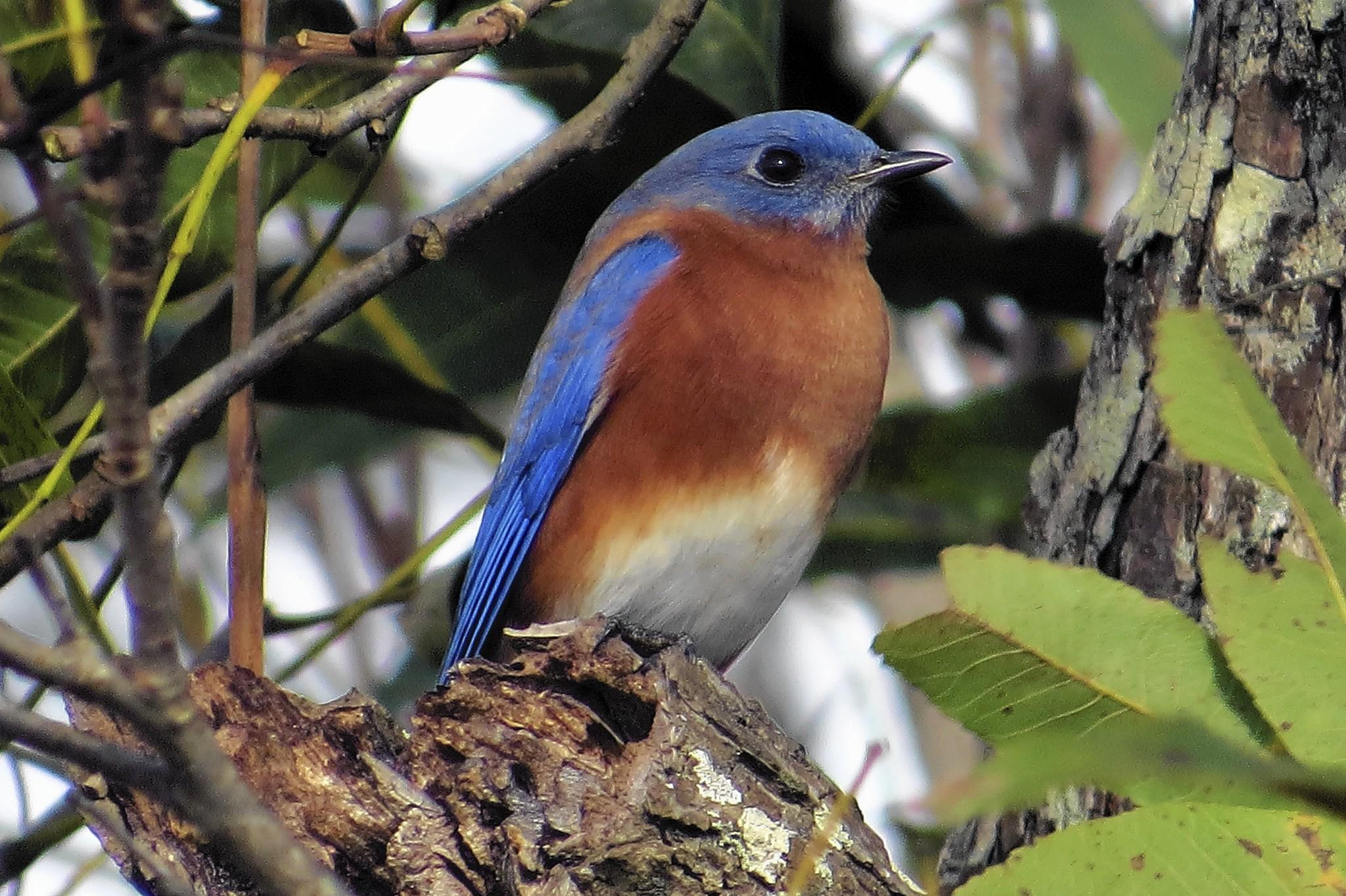 Bluebirds have a tough life, but their beautiful colors make them a joy for birdwatchers.
