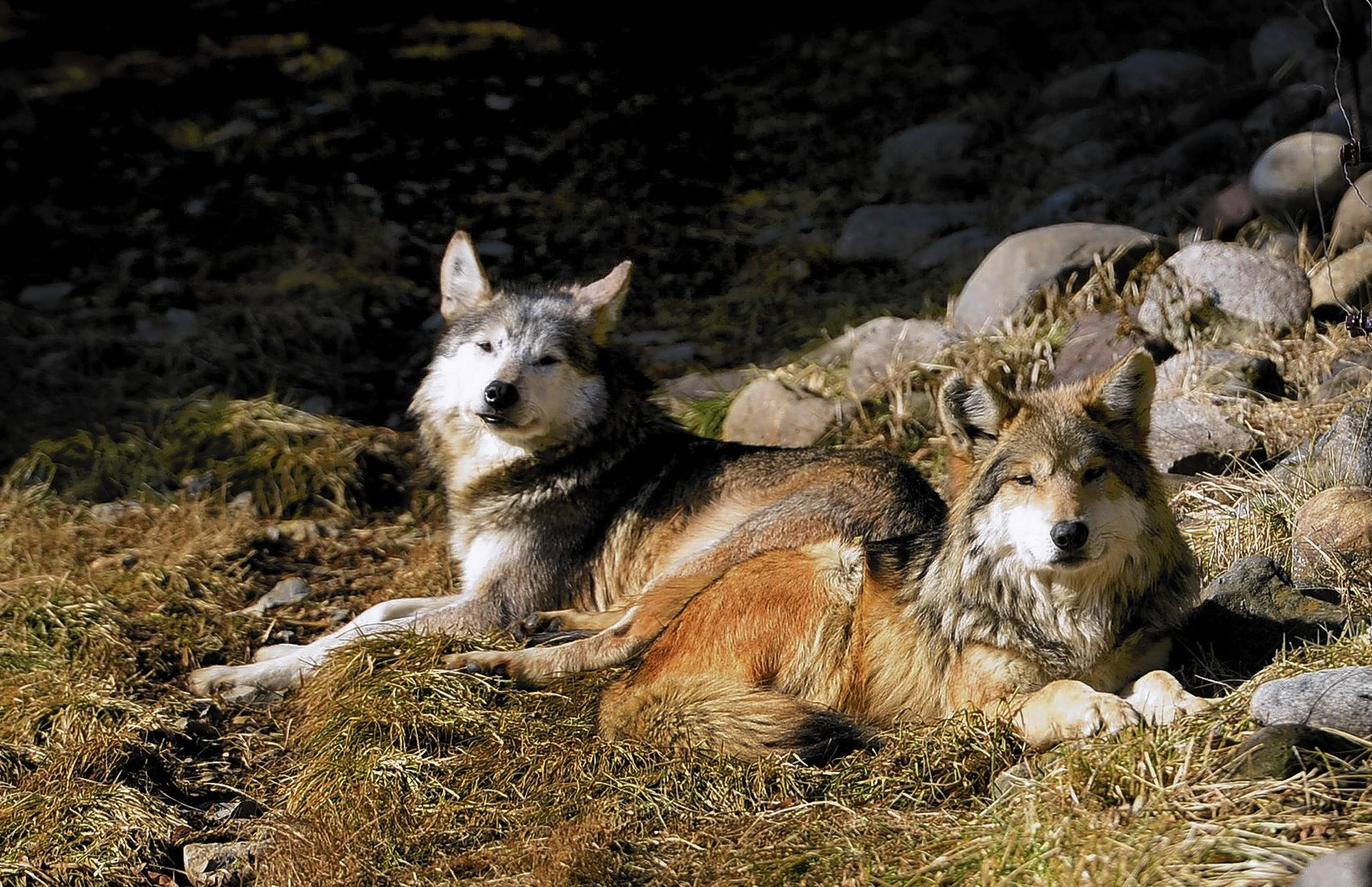 Mexican Grey Wolves are especially active in the winter, says Sherry Peters, director of conservation education at the Lehigh Valley Zoo.