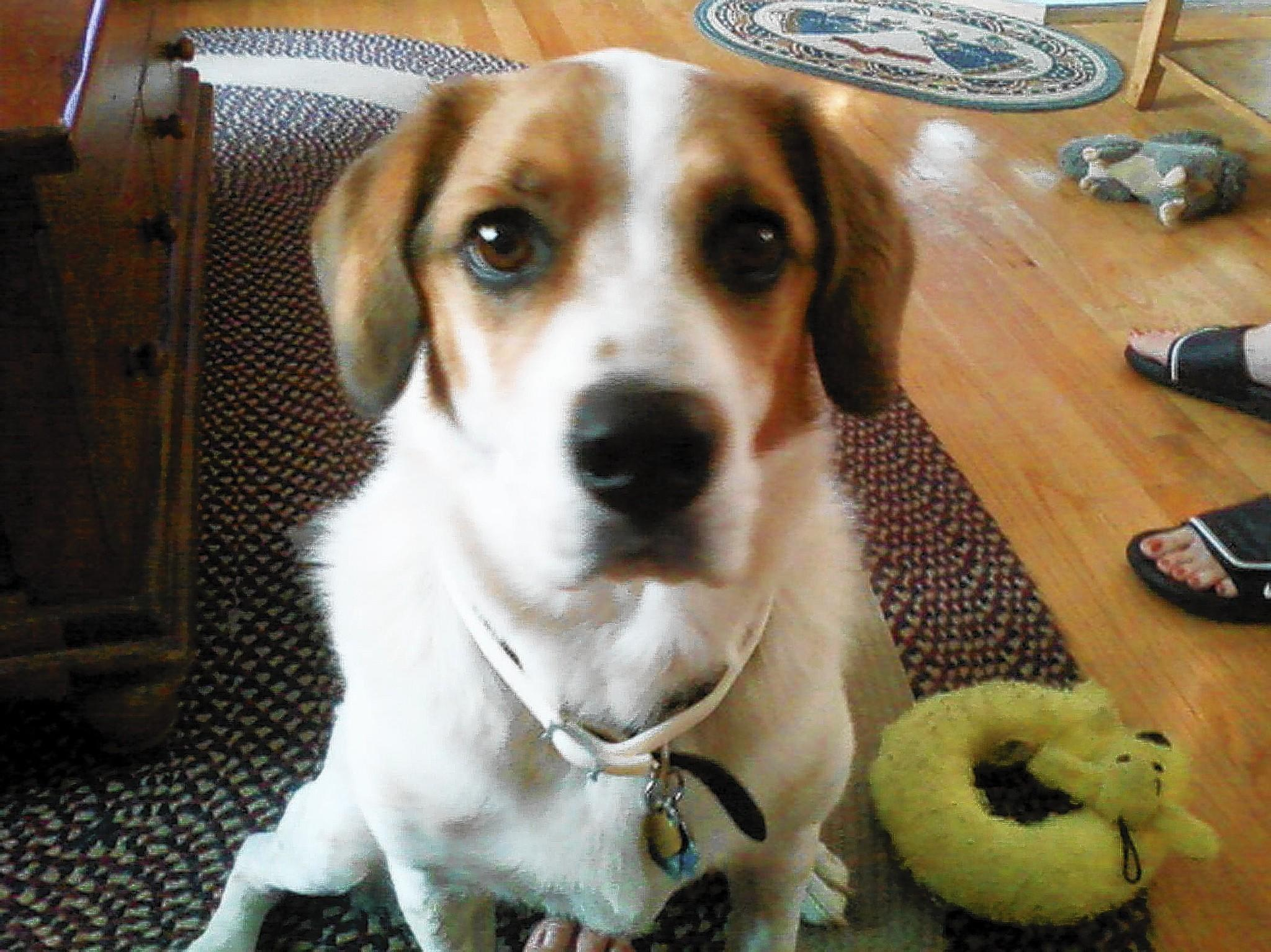 Zoe, a 7 year old Beagle/Spaniel/Russell mix, owned and loved by Tom and Rose Brauchle, 55 and 54, of Salisbury Township.