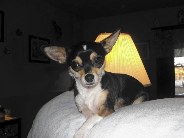 Bella, a 3 year old Chihuahua owned and loved by Roberta Marks, 59, of Allentown.