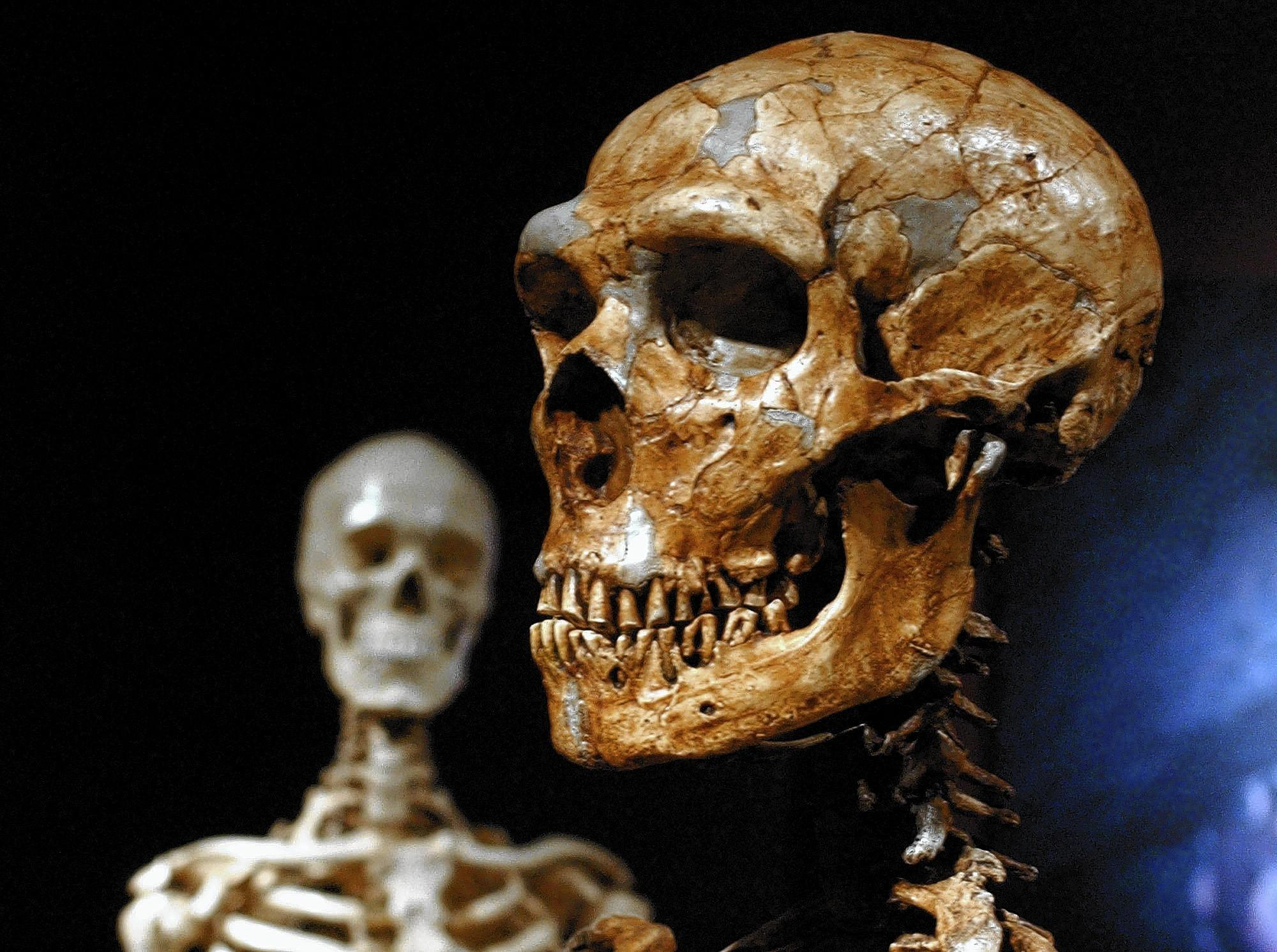 A reconstructed Neanderthal skeleton, foreground, is shown with a modern human skeleton. New studies indicate that long strands of Neanderthal DNA have survived in modern humans of European and East Asian descent.