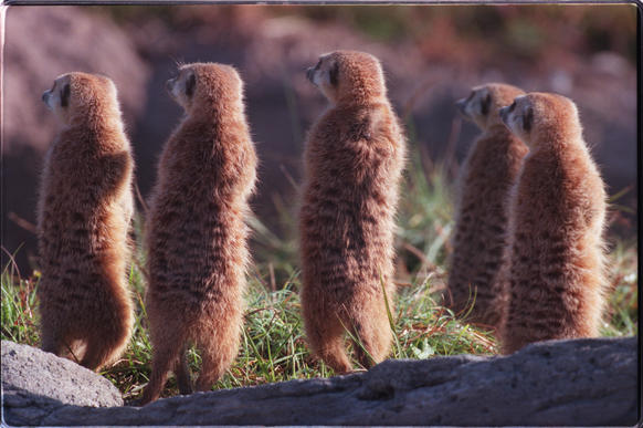 Meerkat Hamlet, a $525,000 home for the burrowing African mammals, will debut at a celebration on March 15 and 16
