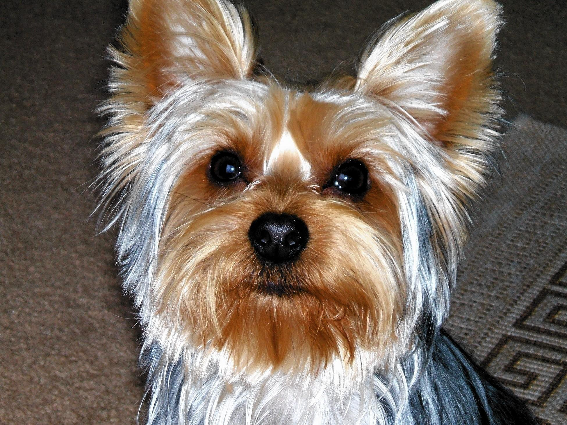 Benji, a 4 year old Yorkshire Terrier, owned and loved by Joseph Belott, 53, of East Greenville.