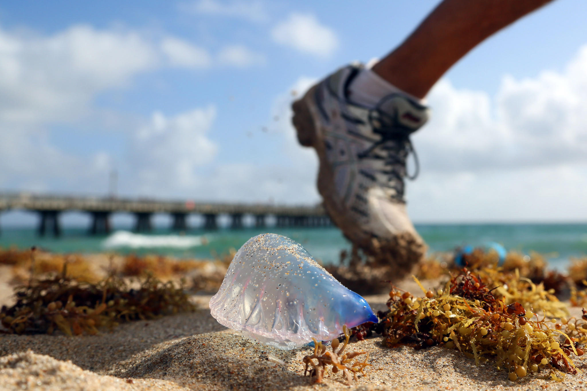 A jogger passes a Portugese man-of-war washed ashore at Pompano Beach on Monday.