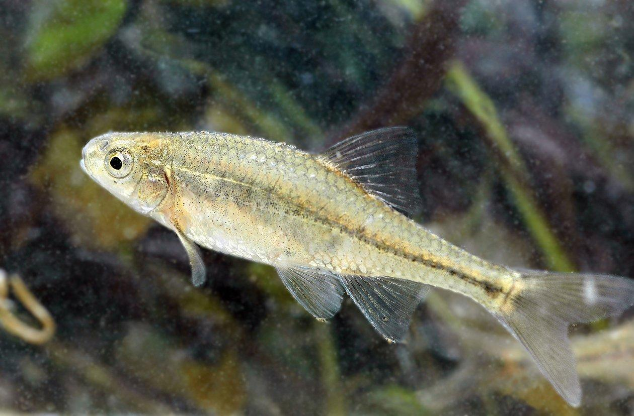 Threatened oregon fish may be removed from endangered for Endangered fish species