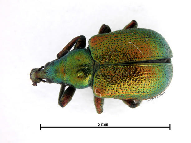 Agricultural specialists with the local U.S. Customs office found a grapevine-eating weevil in a shipment of Italian tile. It marks the first time a customs office has intercepted a Byctiscus betulae, or a leaf roller weevil.