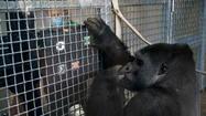 Photos: Gorilla memory study