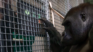 Video: Apes and touch screens at the Lincoln Park Zoo