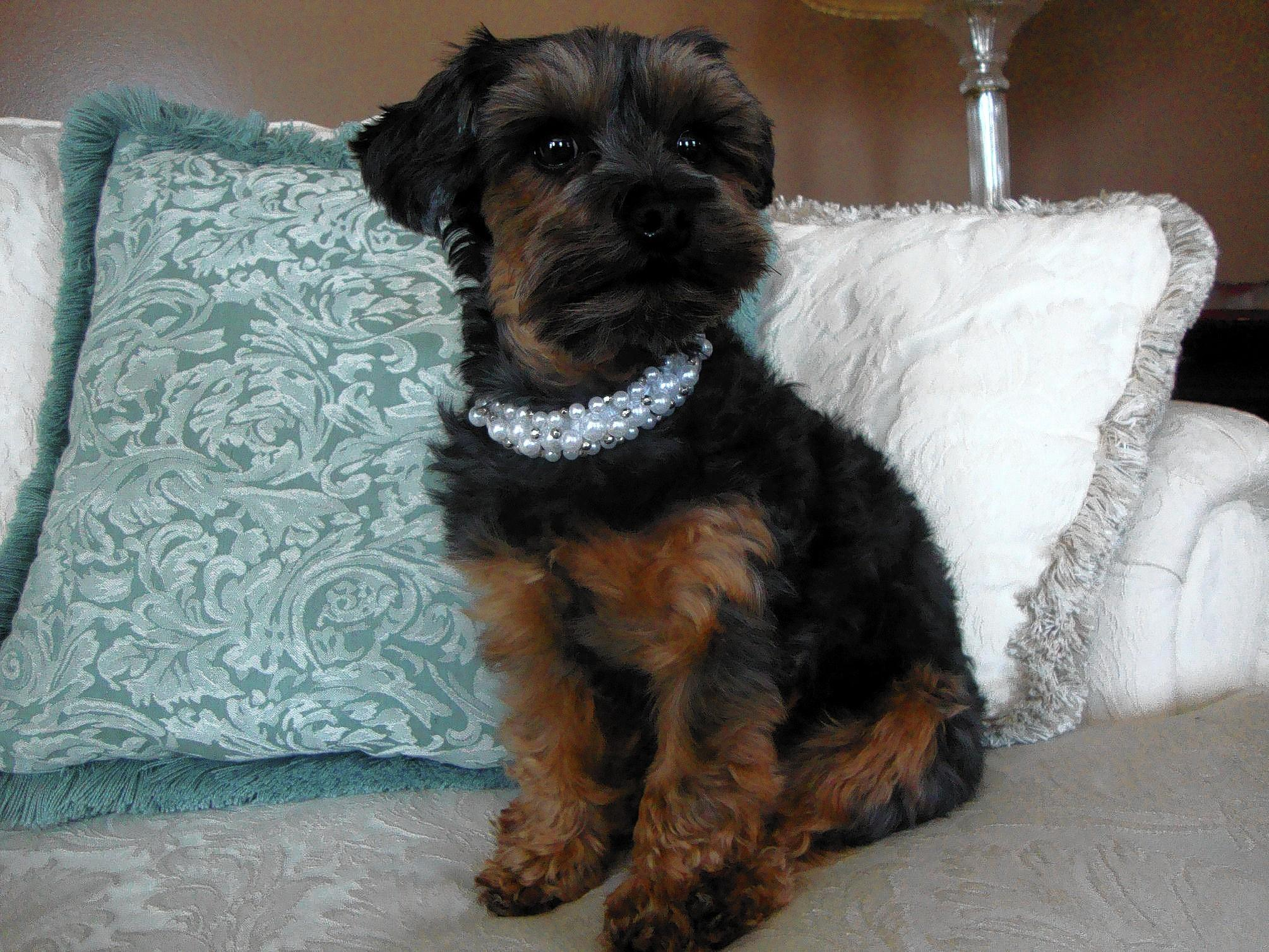 Kiwi, a 3 and a half year old Yorkiepoo, owned and loved by Michele Angell, 50, of Macungie.