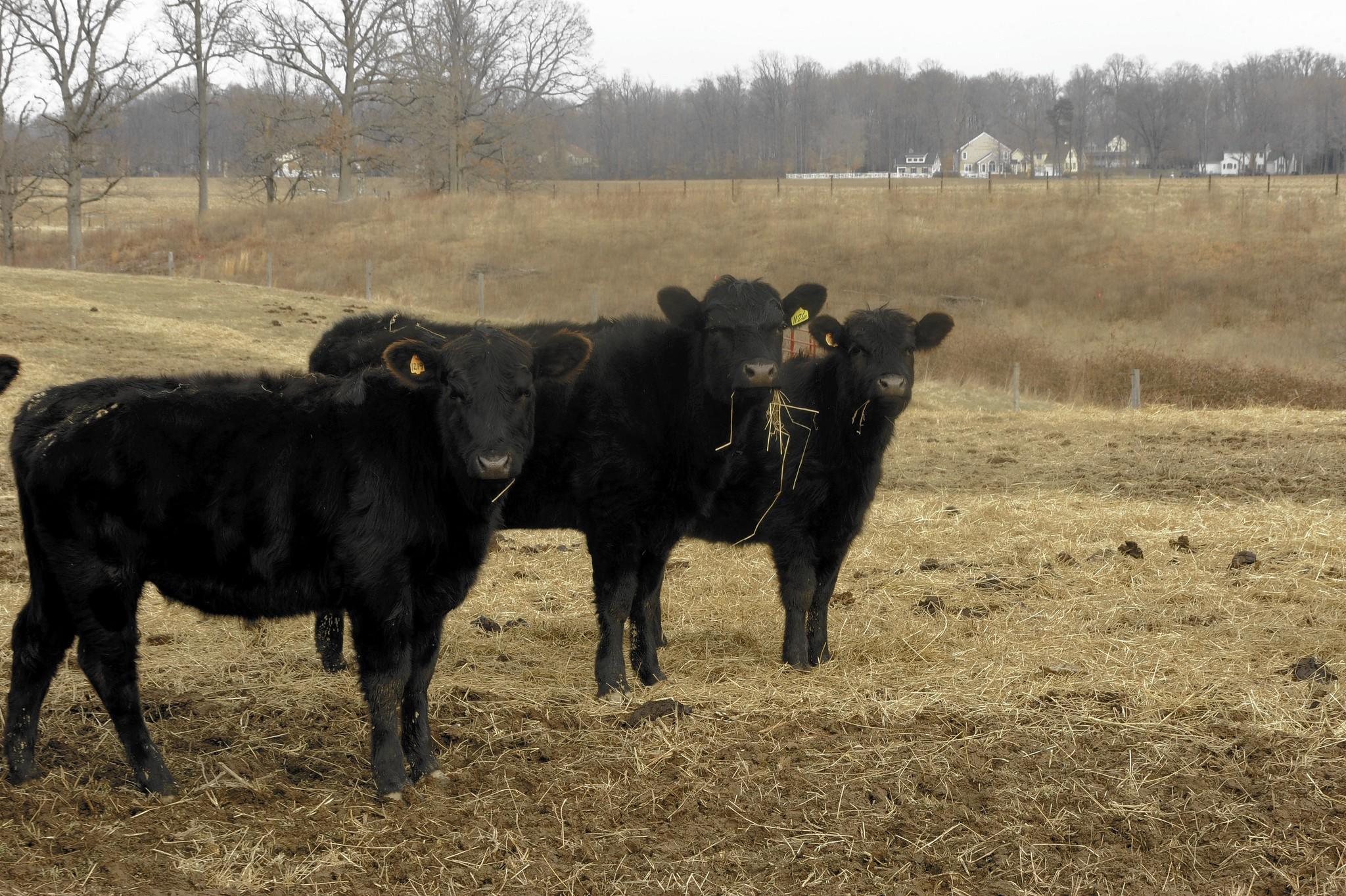 Spring calves roam the Maryland Sunrise Farm, the site of the former Naval Academy Dairy Farm.