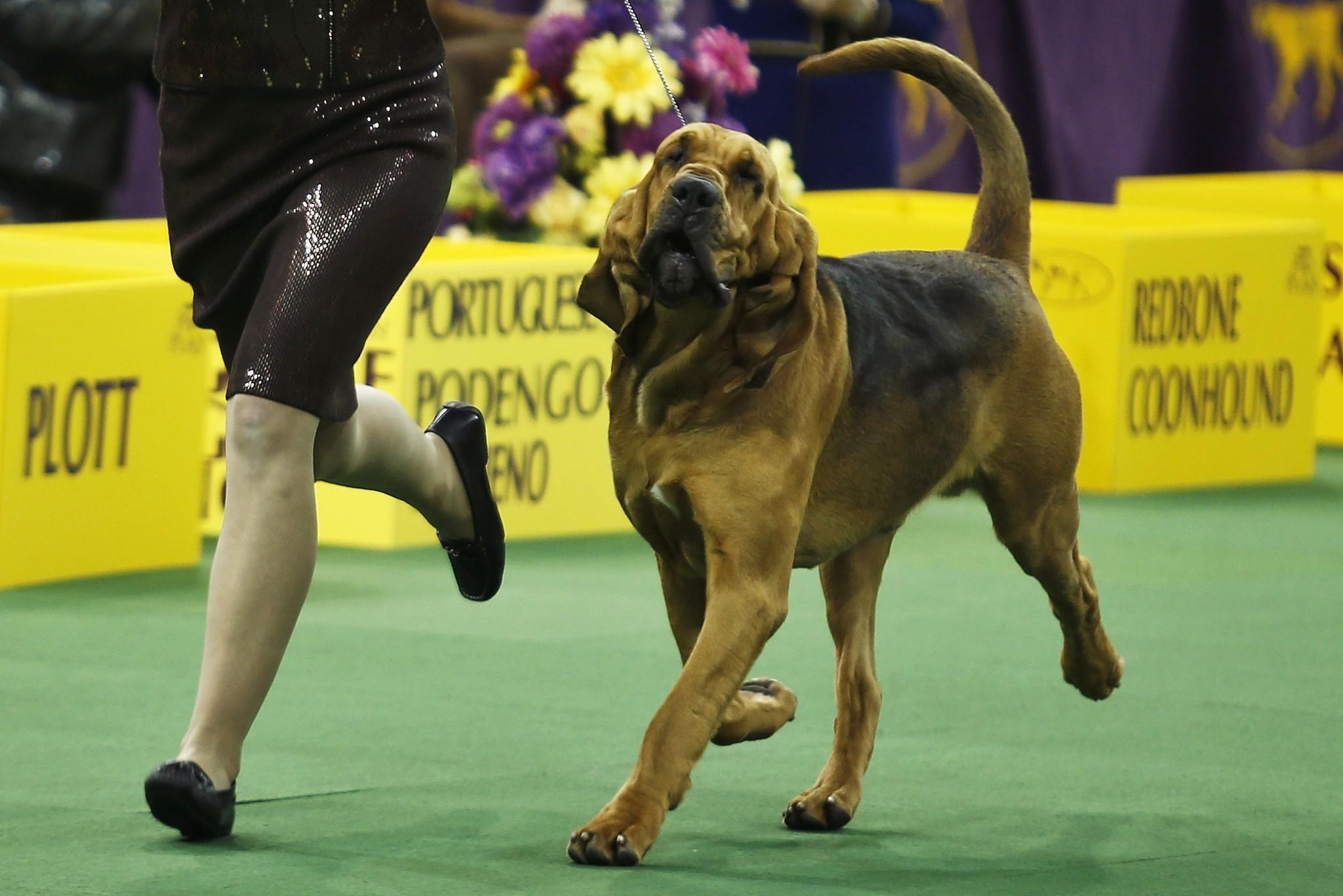 maryland bloodhound is a top dog at westminster kennel club dog show