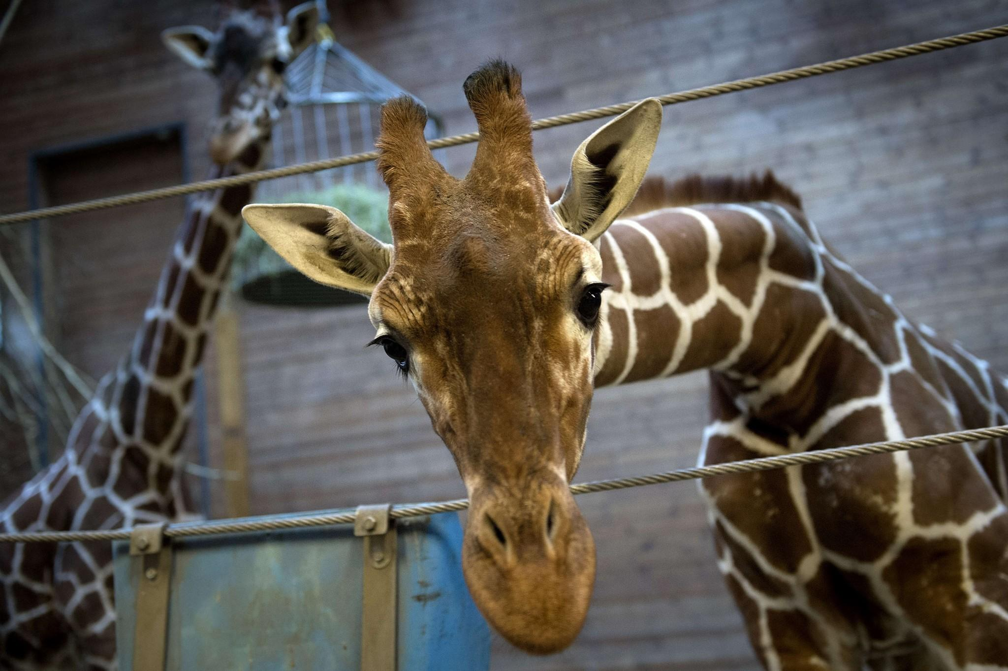 Picture taken on Feb. 7, 2014 shows a healthy young giraffe named Marius who was shot dead and autopsied in the presence of visitors to the gardens at Copenhagen Zoo.