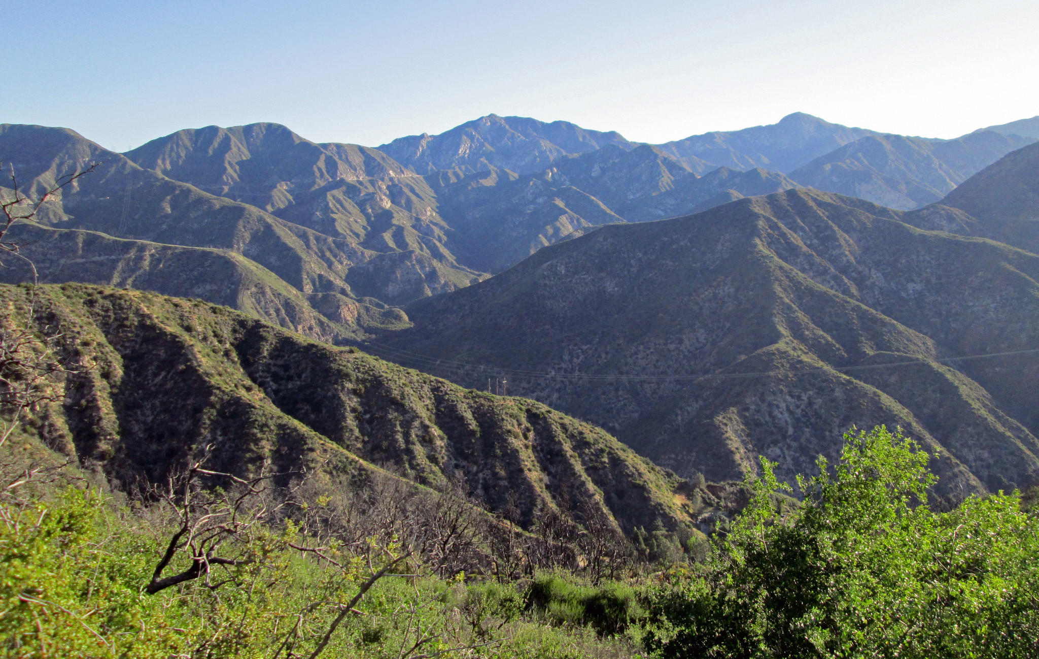 Just a few trees can be found in favored locations of the Angeles National Forest where it interfaces with La Canada Flintridge.