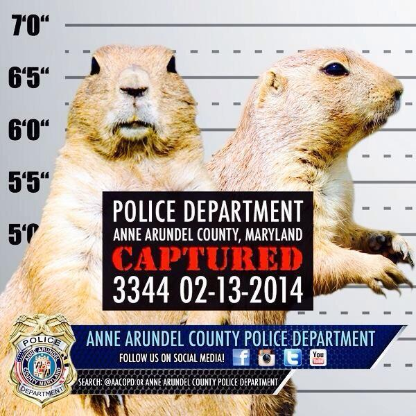 "Anne Arundel County Police released this booking photo of Punxsutawney Phil, who they say was arrested late Wednesday for ""excessive winter."""