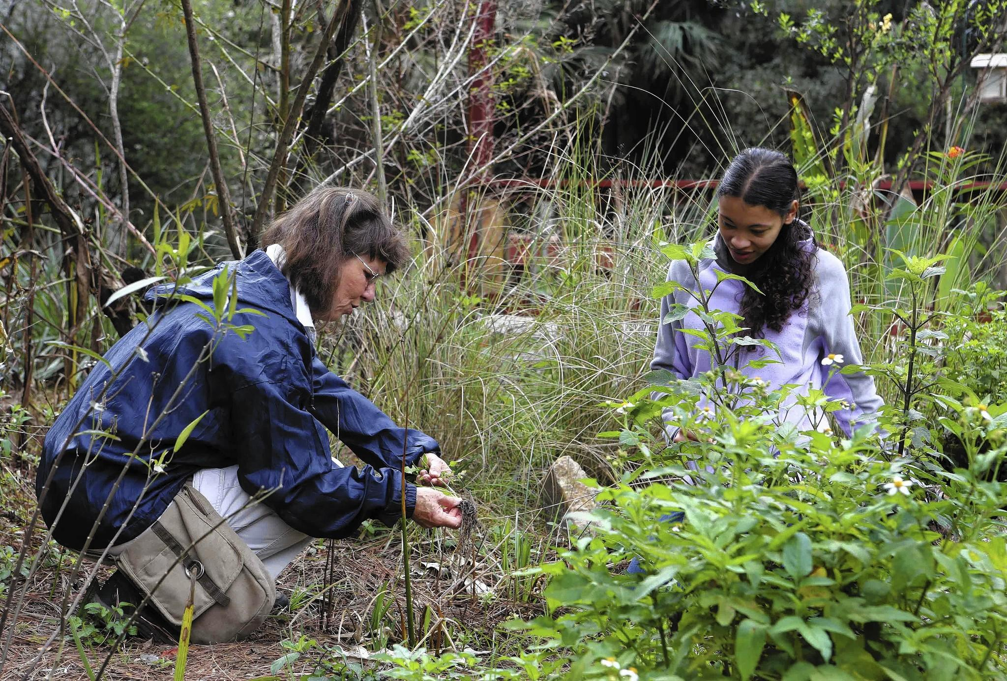 Lavon Silvernell, left and Heather Wiggins pull unwanted weeds Wednesday, February 12, 2014 at Trout Lake Nature Center in Eustis.