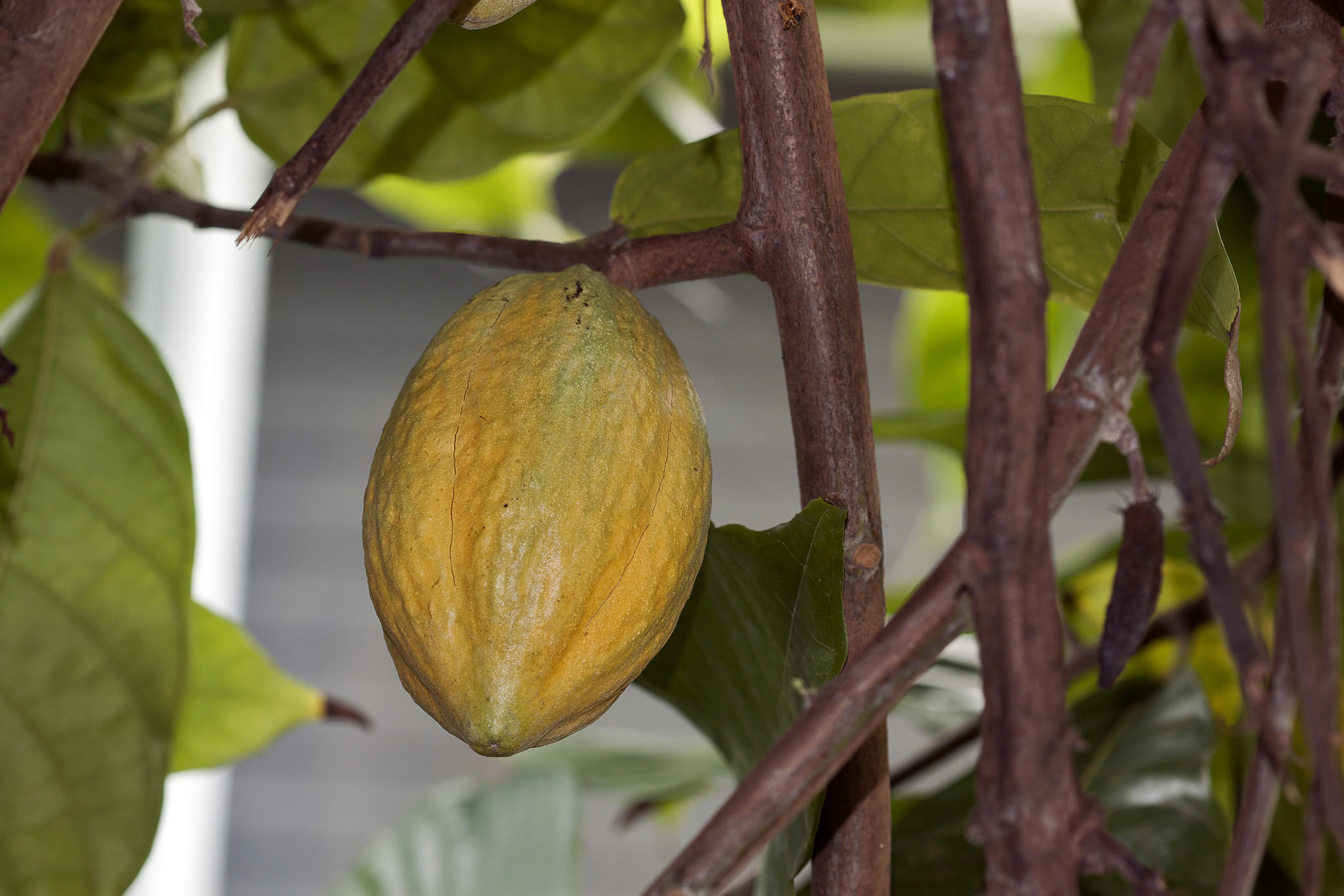 Pods contain the seeds used to make chocolate.