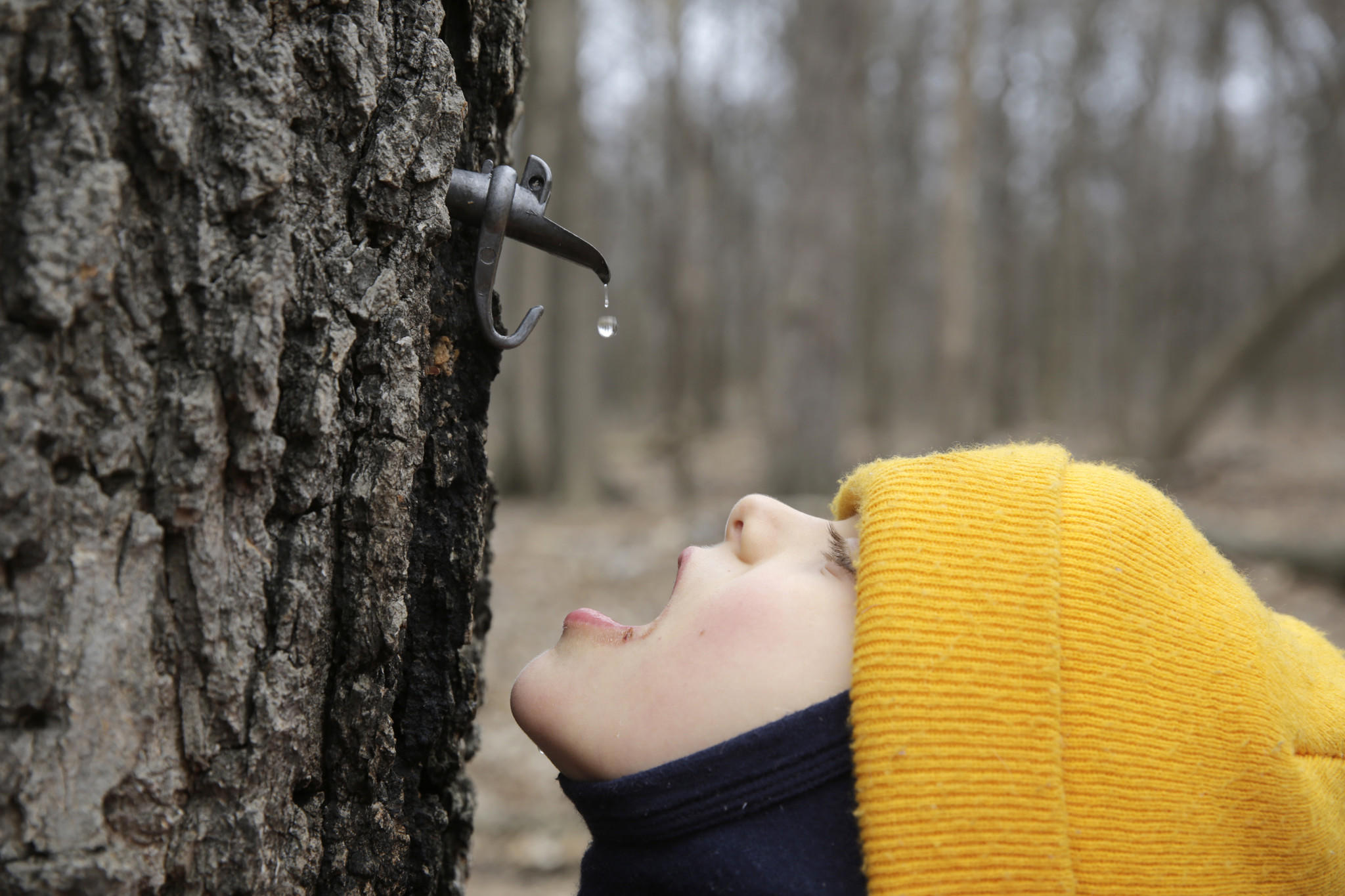 Zane Welch, 7, of Chicago, catches sap as it drips from a Norwegian Maple Sunday, March 24, 2013 at the Maple Syrup Festival outside the North Park Village Nature Center, 5801 N. Pulaski Road.