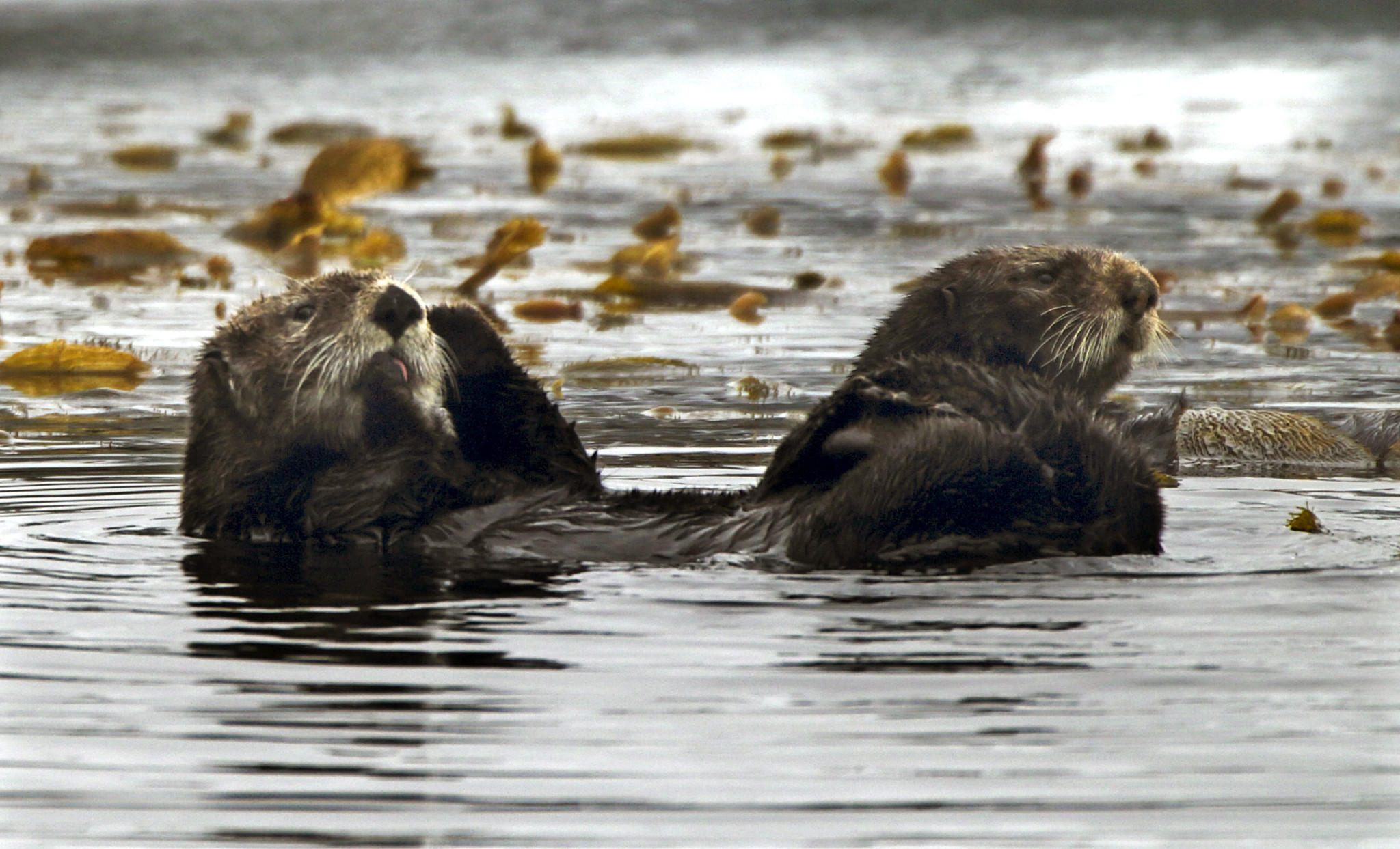 A pair of sea otters float around Monterey Bay last April. A $21,000 reward is being offered to find the person responsible for the shooting deaths of three California sea otters found last fall on a beach on the Monterey Peninsula.