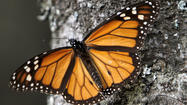 U.S., Mexico and Canada are asked to protect monarch butterflies