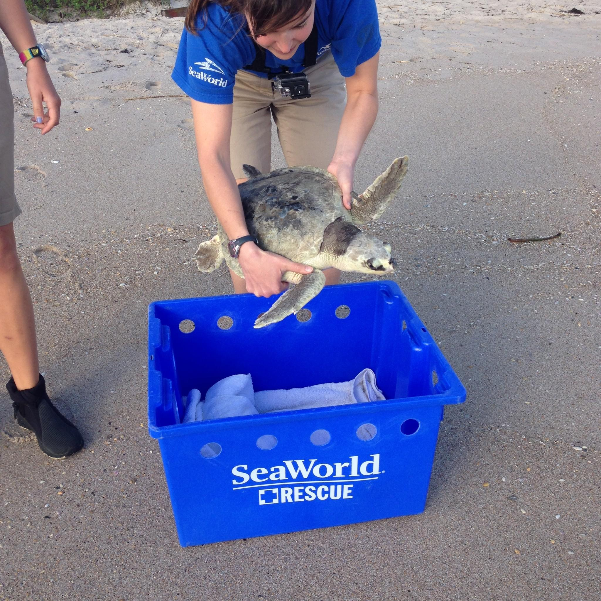 SeaWorld Orlando returned a juvenile Kemp's ridley sea turtle at Canaveral National Seashore on Thursday after more than a year of extensive treatment.