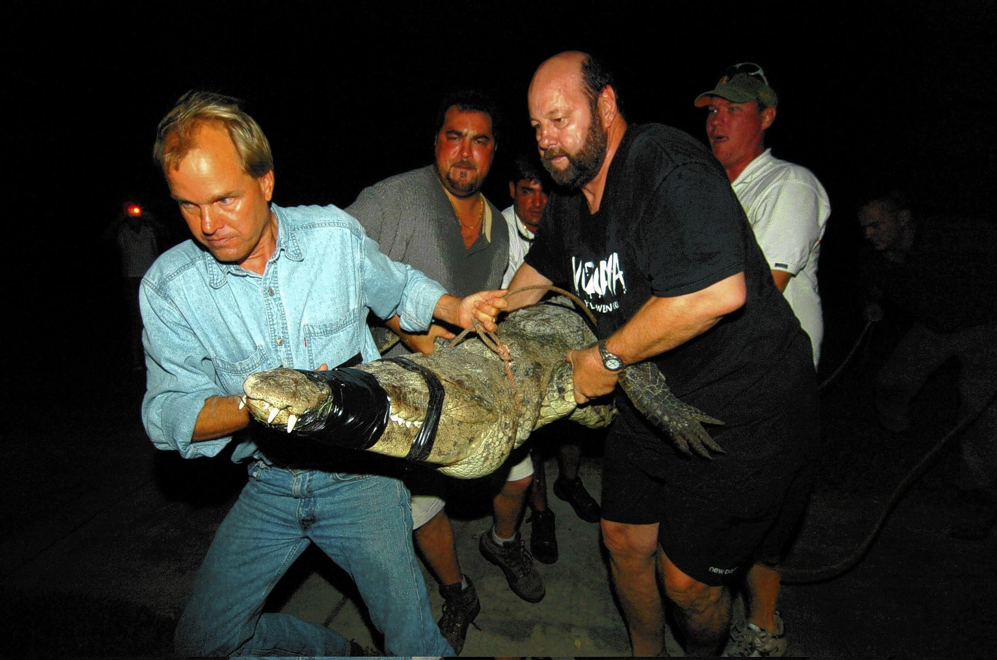 An 11-foot crocodile found in South Miami is being relocated in this 2006 photo. Crocodile numbers in Florida have risen from a low of 200 or so in the 1970s to about 2,000 today.