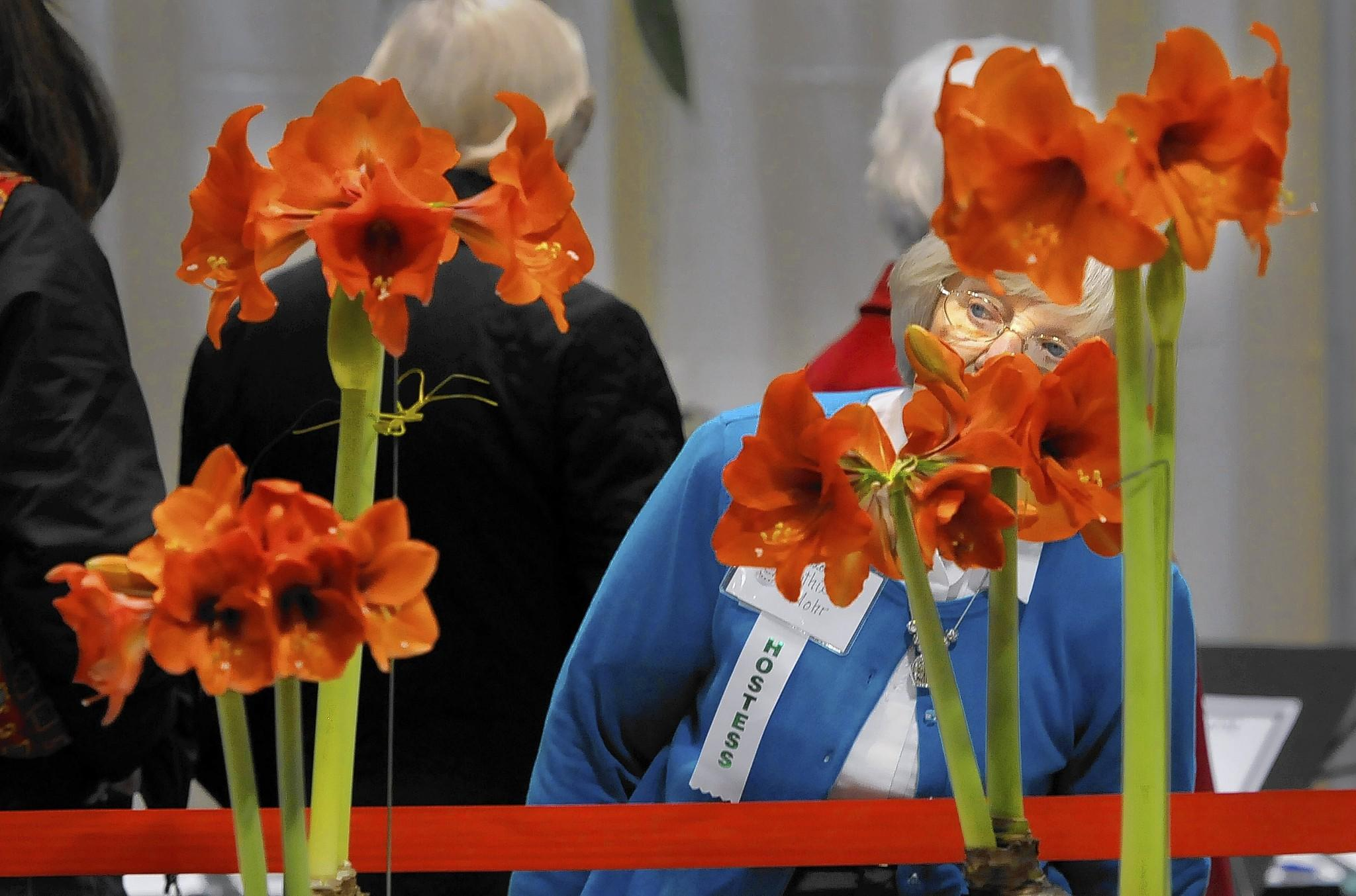 Ruth Mohr, a hostess in the horticulture exhibit area at the Connecticut Flower and Garden Show examines winning examples of Amaryllis on display.