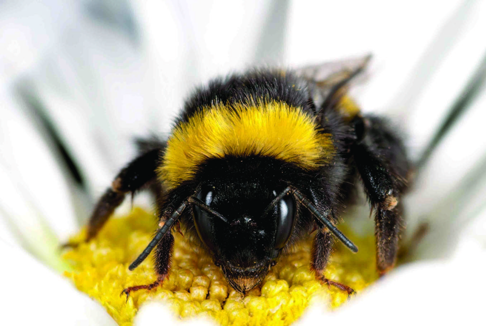 Bee colony collapse viruses spreading to bumblebees latimes