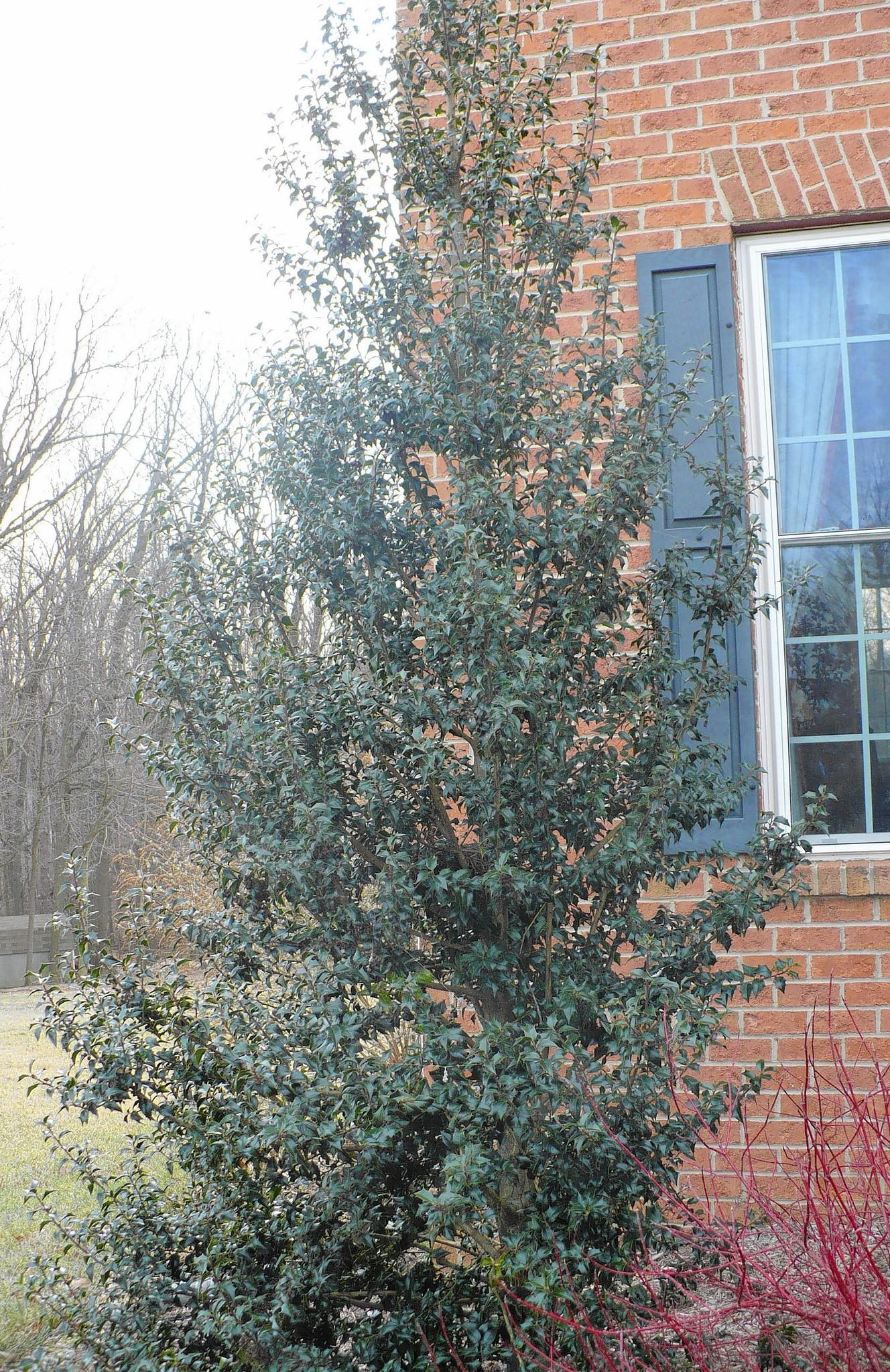 The Dragon Lady holly is a evergreen to anchor the corner of the house because it's not too tall or wide.