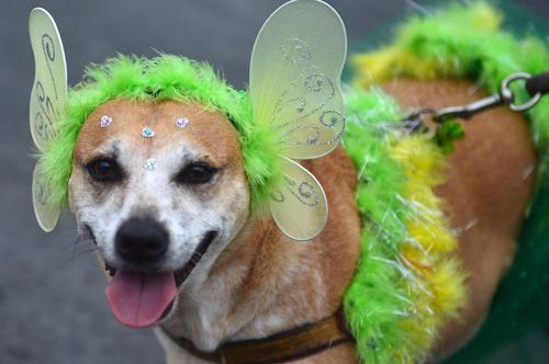 """A dog takes part in the animals' carnival parade """"Blocao"""", at Copacabana in Rio de Janeiro on February 16 , 2014."""