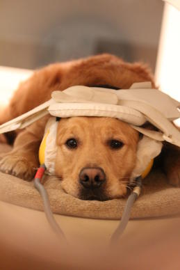 Researchers taught dogs to lie still so they could scan their brains while the dogs listened to sounds.