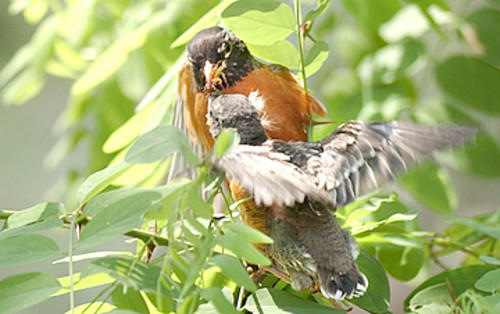 An American robin feeds one of its young.