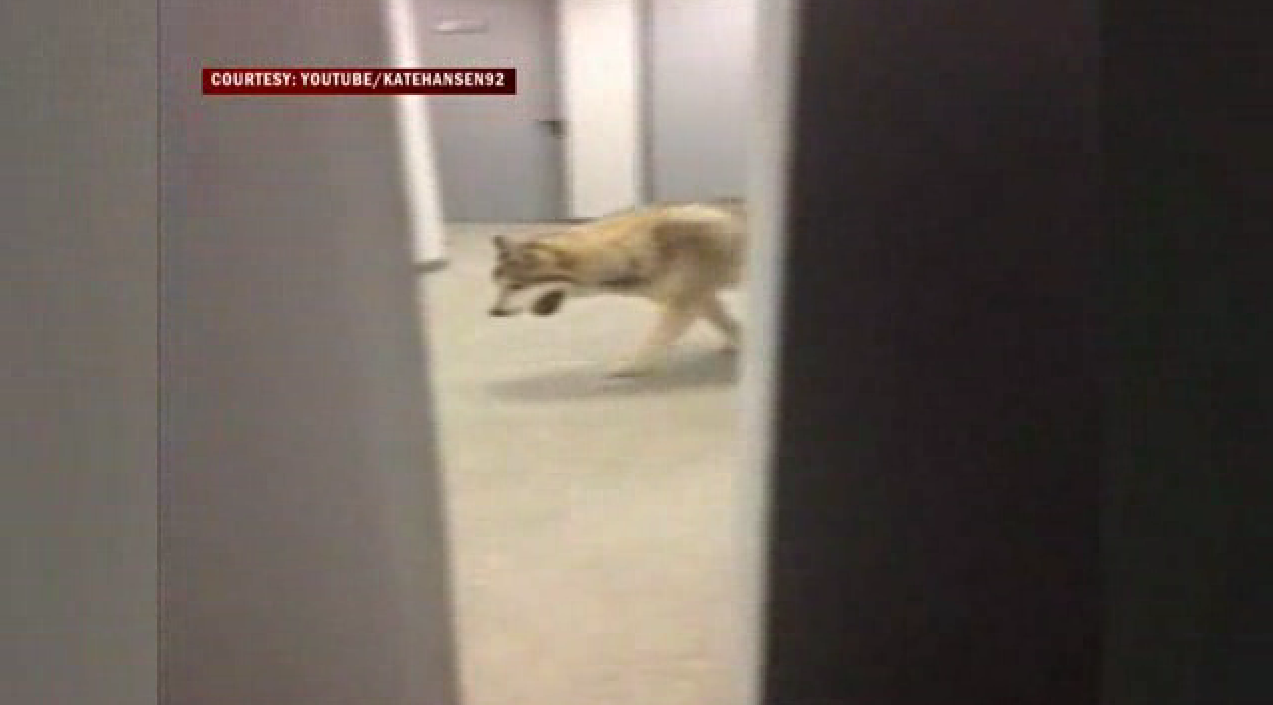 US Olympian Tweets Video Of Wolf In Sochi Hotel Orlando Sentinel - Sochi problems tweets