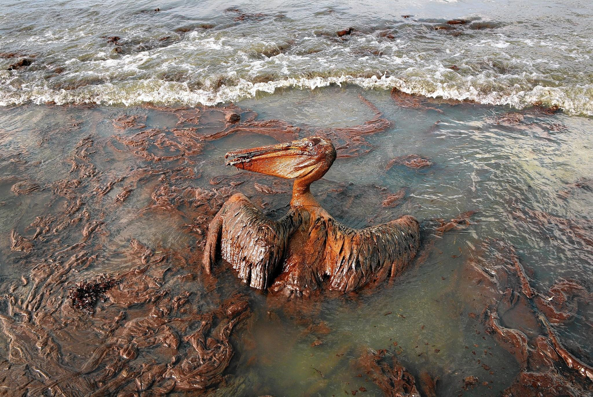 "The 2010 Gulf of Mexico oil spill caused ""immense environmental damage"" along the Gulf Coast, including harm to this oil-drenched pelican."