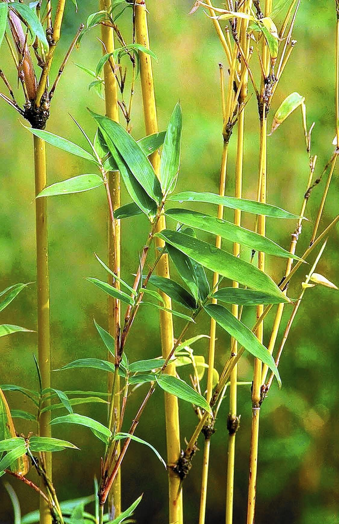 Clump-forming bamboos include Golden Goddess, available this year at McDonald Garden Center.